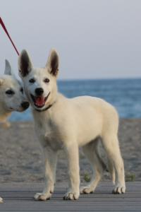 White-Swiss-Shepherd-Puppies-BTWW-N-Litter-05062019-0026