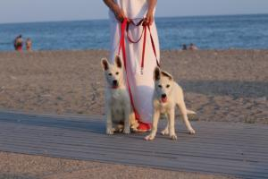 White-Swiss-Shepherd-Puppies-BTWW-N-Litter-05062019-0045