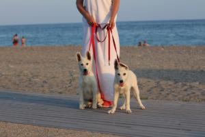 White-Swiss-Shepherd-Puppies-BTWW-N-Litter-05062019-0046