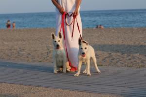 White-Swiss-Shepherd-Puppies-BTWW-N-Litter-05062019-0047
