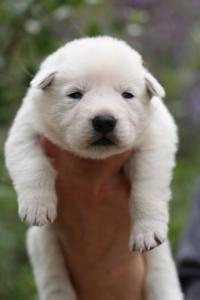 White-Swiss-Shepherd-Puppies-BTWW-Legend-Puppies-220419-0002