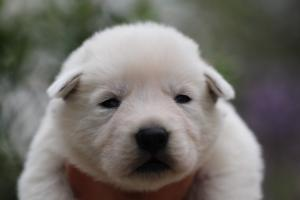 White-Swiss-Shepherd-Puppies-BTWW-Legend-Puppies-220419-0005