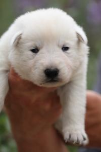 White-Swiss-Shepherd-Puppies-BTWW-Legend-Puppies-220419-0006