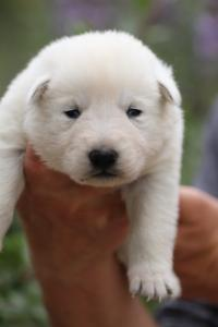 White-Swiss-Shepherd-Puppies-BTWW-Legend-Puppies-220419-0007