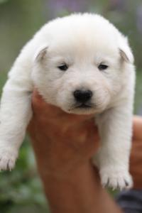 White-Swiss-Shepherd-Puppies-BTWW-Legend-Puppies-220419-0008