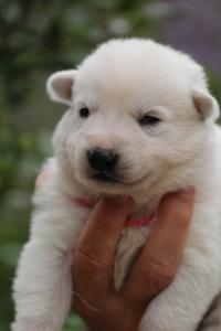 White-Swiss-Shepherd-Puppies-BTWW-Legend-Puppies-220419-0011