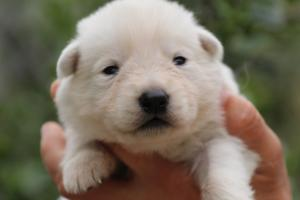 White-Swiss-Shepherd-Puppies-BTWW-Legend-Puppies-220419-0013