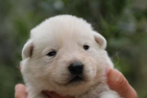 White-Swiss-Shepherd-Puppies-BTWW-Legend-Puppies-220419-0014