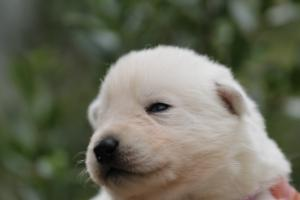 White-Swiss-Shepherd-Puppies-BTWW-Legend-Puppies-220419-0015