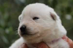 White-Swiss-Shepherd-Puppies-BTWW-Legend-Puppies-220419-0016