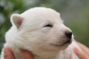 White-Swiss-Shepherd-Puppies-BTWW-Legend-Puppies-220419-0017