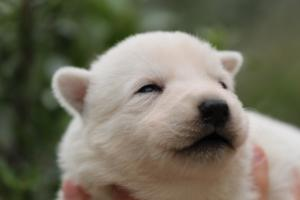 White-Swiss-Shepherd-Puppies-BTWW-Legend-Puppies-220419-0020