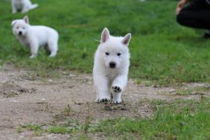 White-Swiss-Shepherd-Puppies-BTWW-L-litter-200915-0003