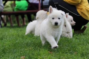 White-Swiss-Shepherd-Puppies-BTWW-L-litter-200915-0022
