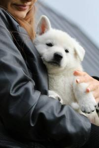 White-Swiss-Shepherd-Puppies-BTWW-L-litter-200915-0190