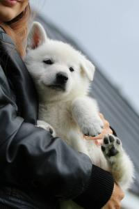 White-Swiss-Shepherd-Puppies-BTWW-L-litter-200915-0191