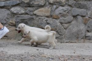 White-Swiss-Shepherd-Puppies-BTWWNPups-290619-0201