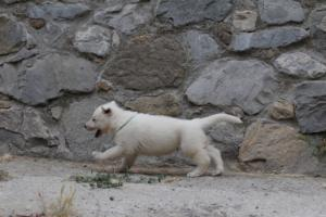 White-Swiss-Shepherd-Puppies-BTWWNPups-290619-0202