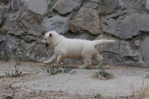 White-Swiss-Shepherd-Puppies-BTWWNPups-290619-0203