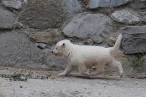 White-Swiss-Shepherd-Puppies-BTWWNPups-290619-0204