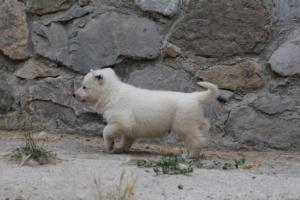 White-Swiss-Shepherd-Puppies-BTWWNPups-290619-0205
