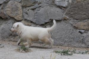 White-Swiss-Shepherd-Puppies-BTWWNPups-290619-0206