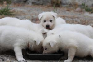 White-Swiss-Shepherd-Puppies-BTWWNPups-290619-0213