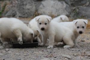 White-Swiss-Shepherd-Puppies-BTWWNPups-290619-0214