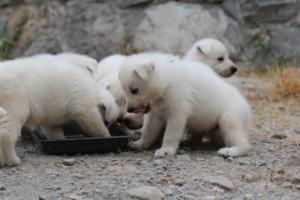 White-Swiss-Shepherd-Puppies-BTWWNPups-290619-0215