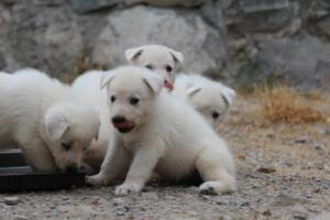 White-Swiss-Shepherd-Puppies-BTWWNPups-290619-0216