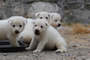 White-Swiss-Shepherd-Puppies-BTWWNPups-290619-0217