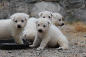 White-Swiss-Shepherd-Puppies-BTWWNPups-290619-0218