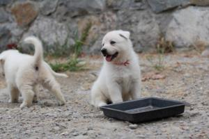 White-Swiss-Shepherd-Puppies-BTWWNPups-290619-0219