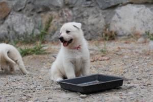 White-Swiss-Shepherd-Puppies-BTWWNPups-290619-0221