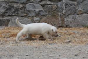 White-Swiss-Shepherd-Puppies-BTWWNPups-290619-0223
