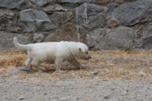 White-Swiss-Shepherd-Puppies-BTWWNPups-290619-0224