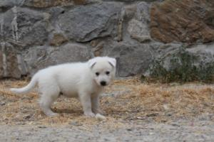 White-Swiss-Shepherd-Puppies-BTWWNPups-290619-0225