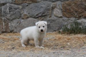 White-Swiss-Shepherd-Puppies-BTWWNPups-290619-0226