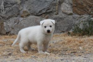 White-Swiss-Shepherd-Puppies-BTWWNPups-290619-0227