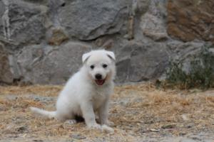 White-Swiss-Shepherd-Puppies-BTWWNPups-290619-0228