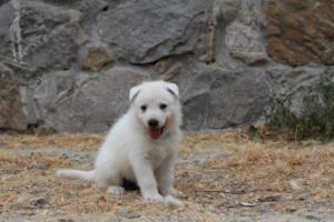 White-Swiss-Shepherd-Puppies-BTWWNPups-290619-0229