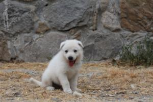 White-Swiss-Shepherd-Puppies-BTWWNPups-290619-0230