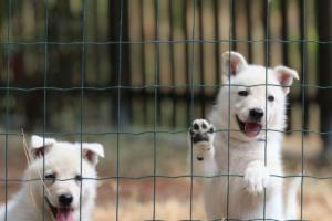 White-Swiss-Shepherd-Puppies-06062019-0060