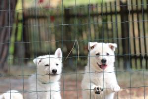 White-Swiss-Shepherd-Puppies-06062019-0061