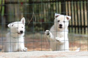 White-Swiss-Shepherd-Puppies-06062019-0062