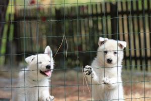 White-Swiss-Shepherd-Puppies-06062019-0063