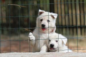 White-Swiss-Shepherd-Puppies-06062019-0064
