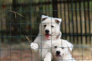 White-Swiss-Shepherd-Puppies-06062019-0065