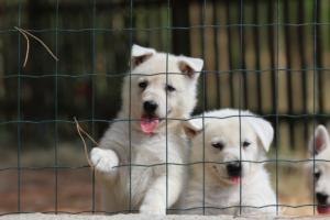 White-Swiss-Shepherd-Puppies-06062019-0066