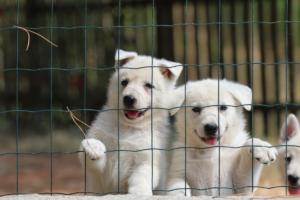 White-Swiss-Shepherd-Puppies-06062019-0067